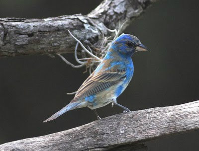 Indigo Buntings arrival, molting for the nesting season