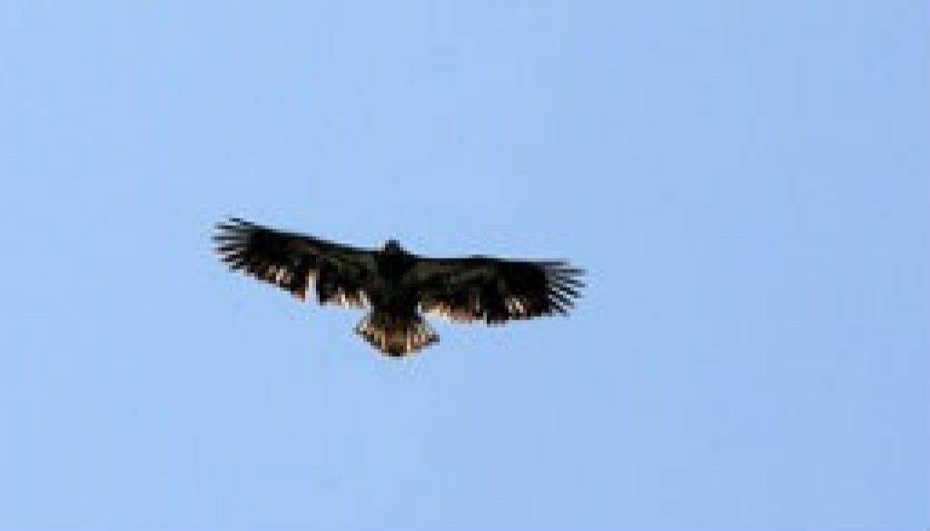 Juvenile Bald Eagle featured