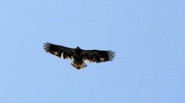 Juvenile Bald Eagle featured