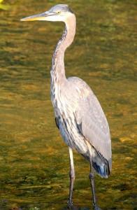 Juvenile Great Blue Heron sep 29 2008