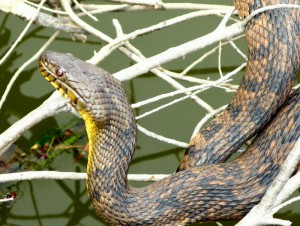 Large Diamondback Water Snake