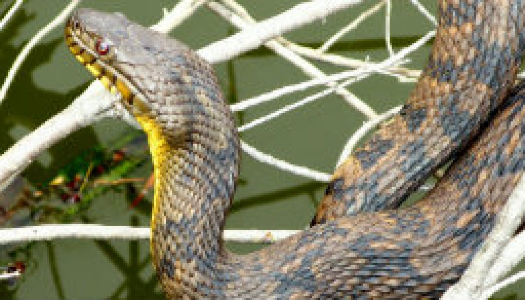 Large Diamondback Water Snake featured
