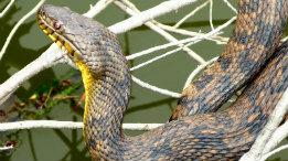 Large Diamondback Water Snake featured