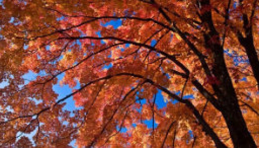 Looking up into a Sugar Maple - Caney Mountain featured