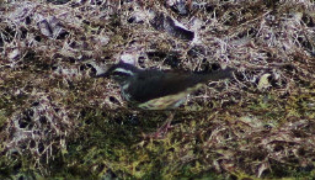 Louisiana Water Thrush (after high water) featured