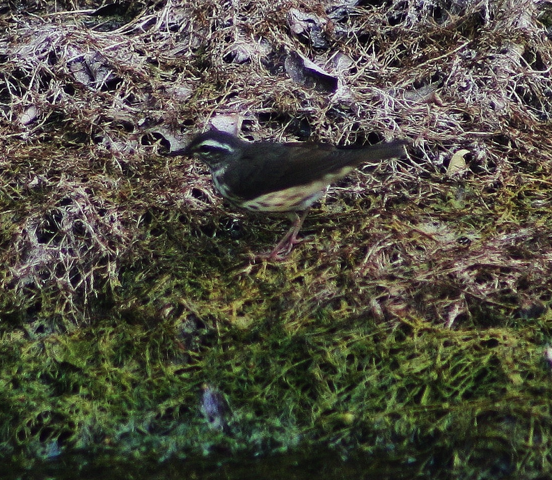 Louisiana Water Thrush (after high water)