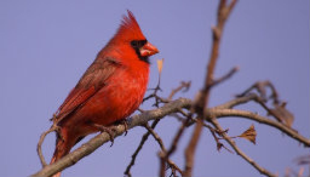 Male Northern Cardinal featured