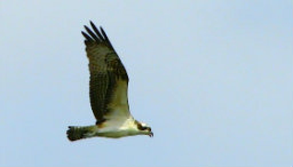 My experience with the Ospreys in 2008 featured