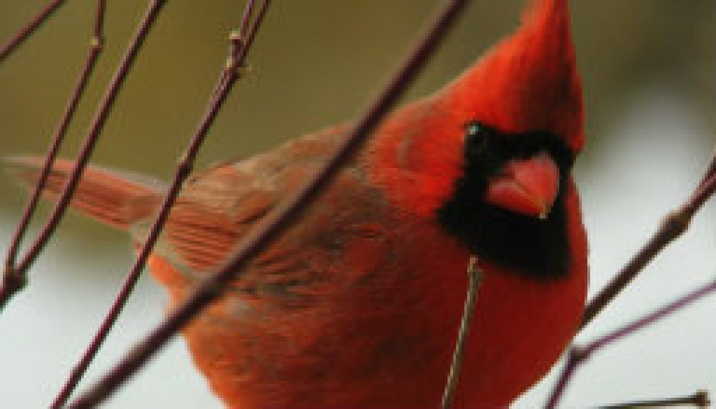 Northern Cardinal January 1, 2009 featured