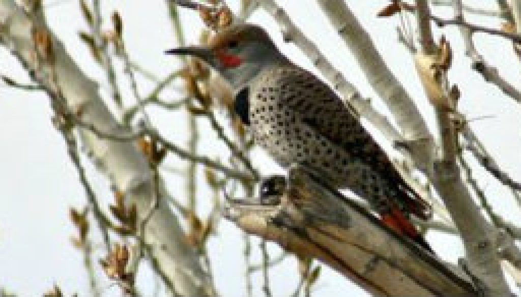 Northern Flicker featured