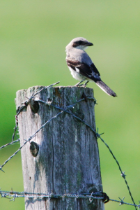 Northern Shrike on 181 near Dora this past May