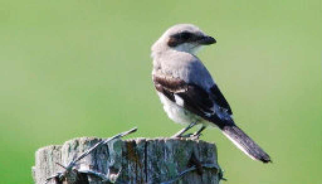 Northern Shrike on 181 near Dora this past May featured
