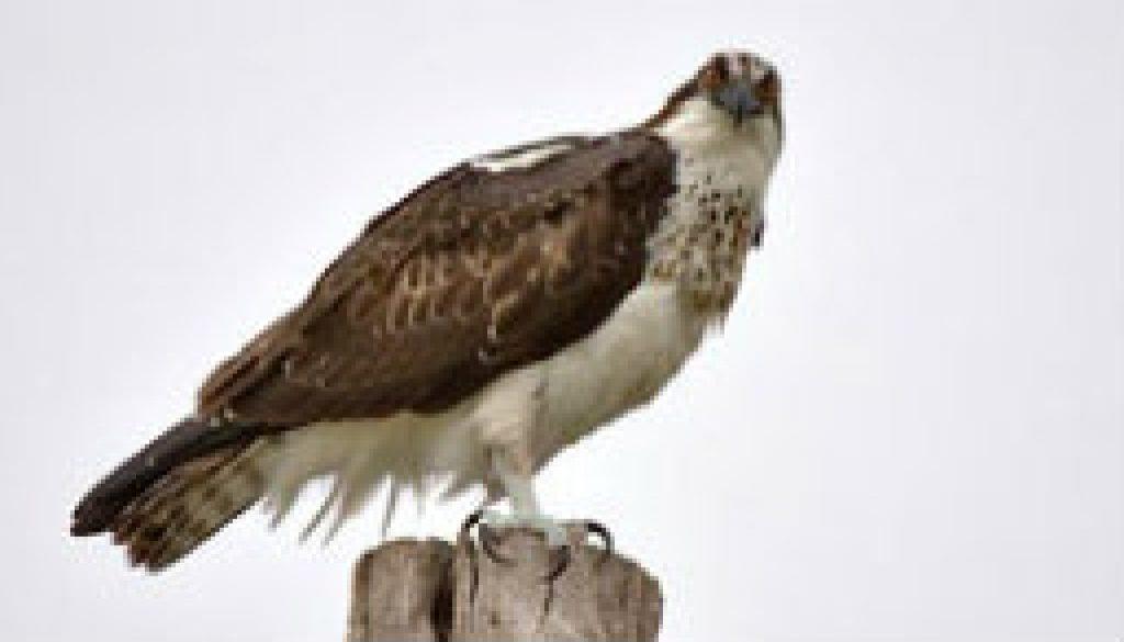 Osprey featured