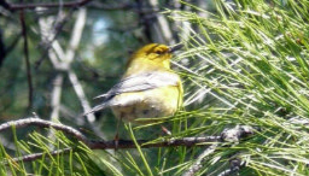 Pine Warbler featured