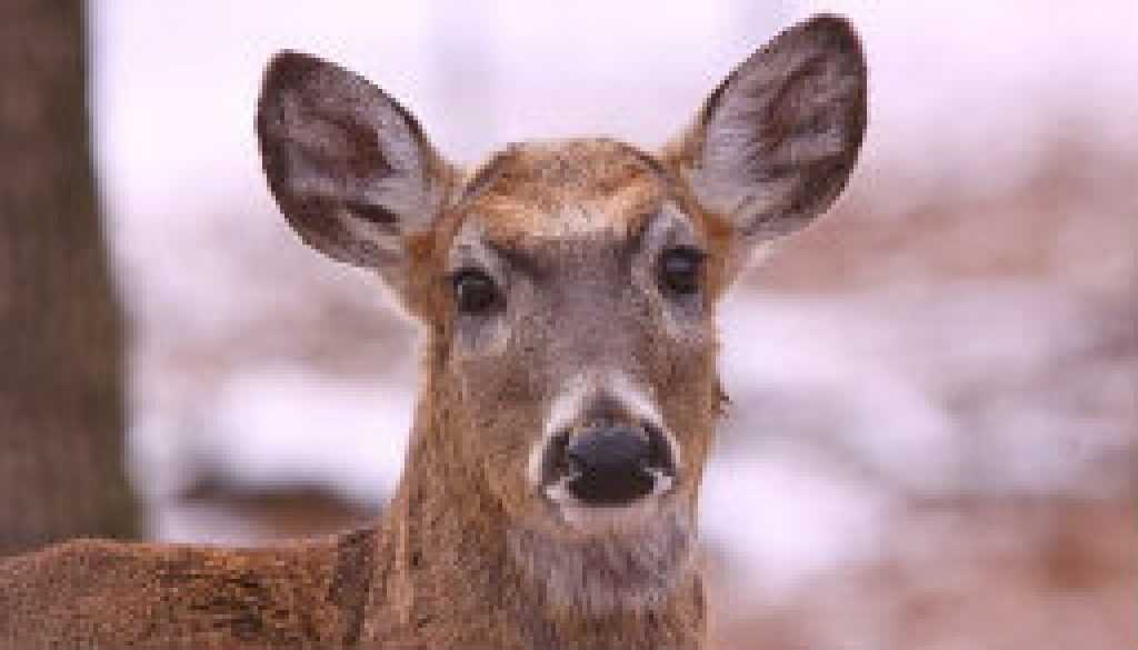 Pretty white-tailed deer doe featured