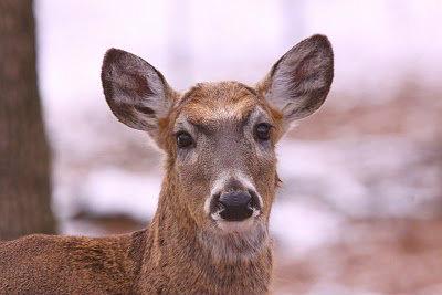 Pretty white-tailed deer doe