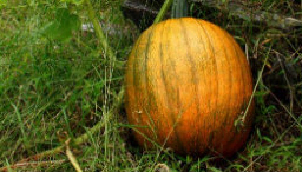 Pumpkin near Topaz Mill featured