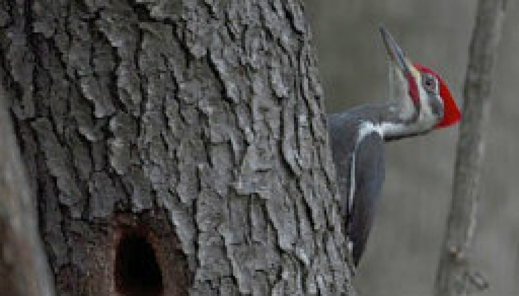 Quick glimpse of a Male Pileated Woodpecker featured