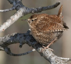 Rare Winter Wren in Missouri