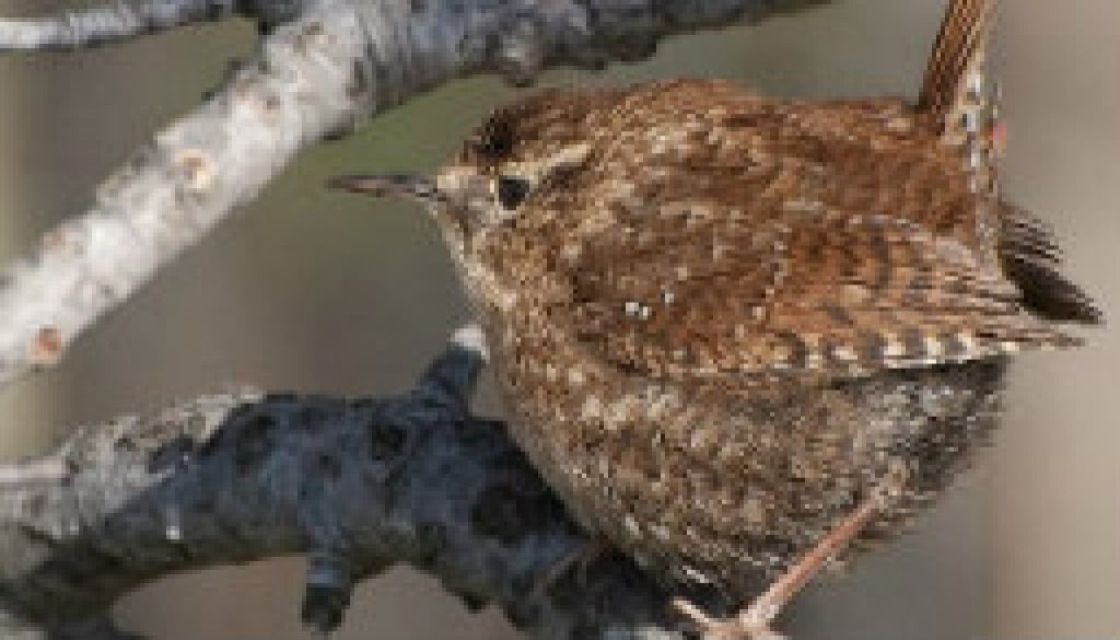Rare Winter Wren in Missouri featured