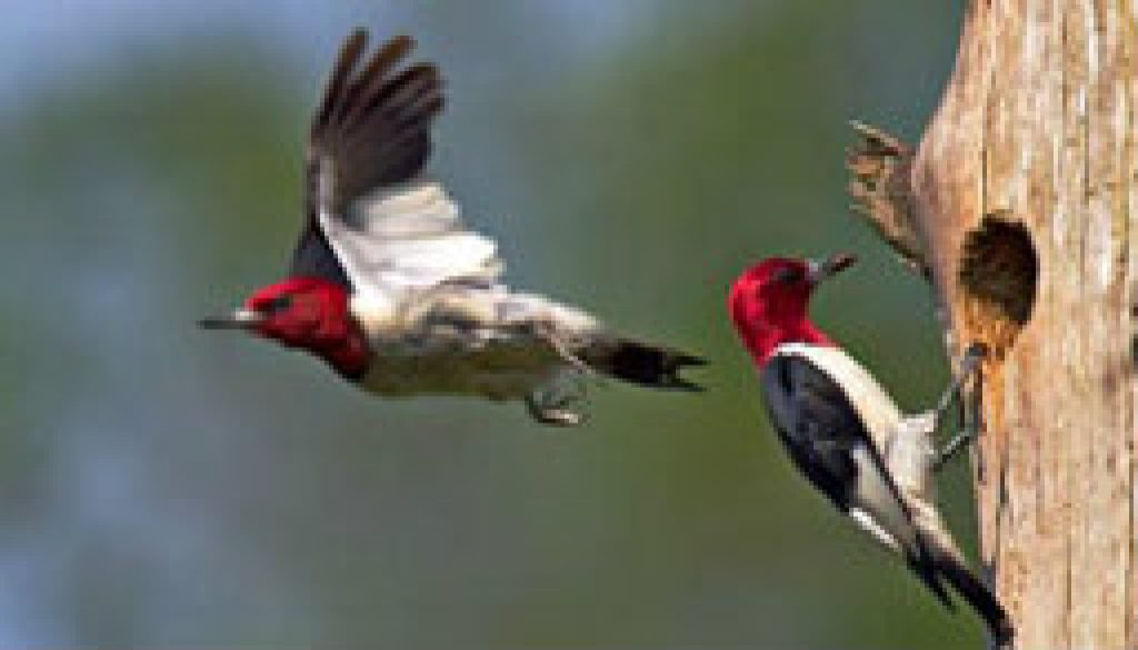 Red Headed Woodpecker featured