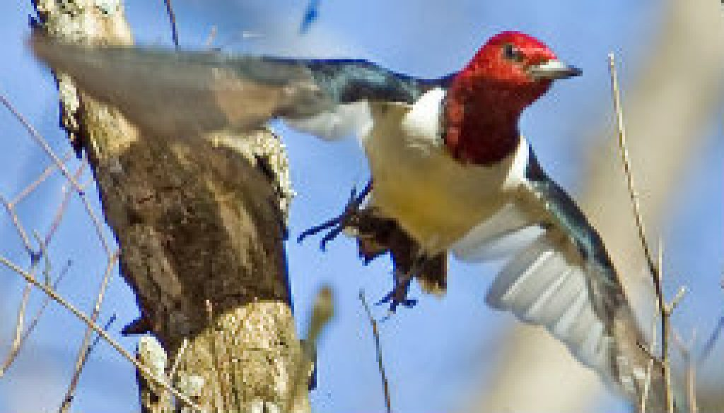Red Headed Woodpecker making the leap featured