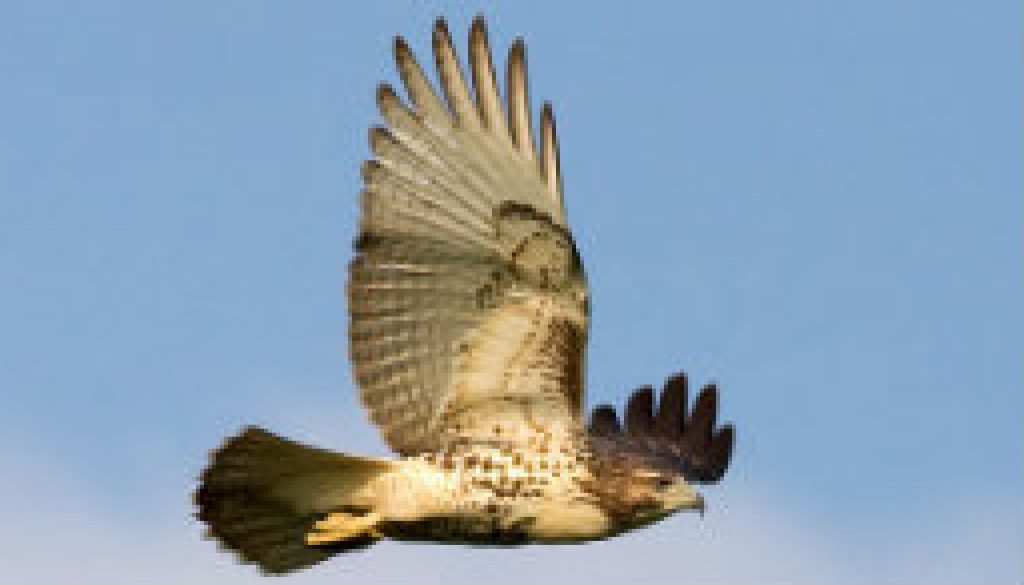 Red Tail Hawk this morning featured