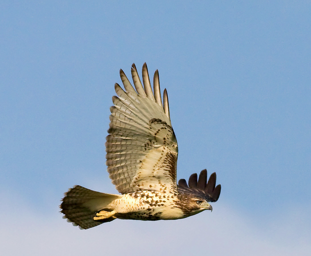 Red Tail Hawk this morning