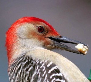 Red-bellied Woodpecker near Whispering Pines
