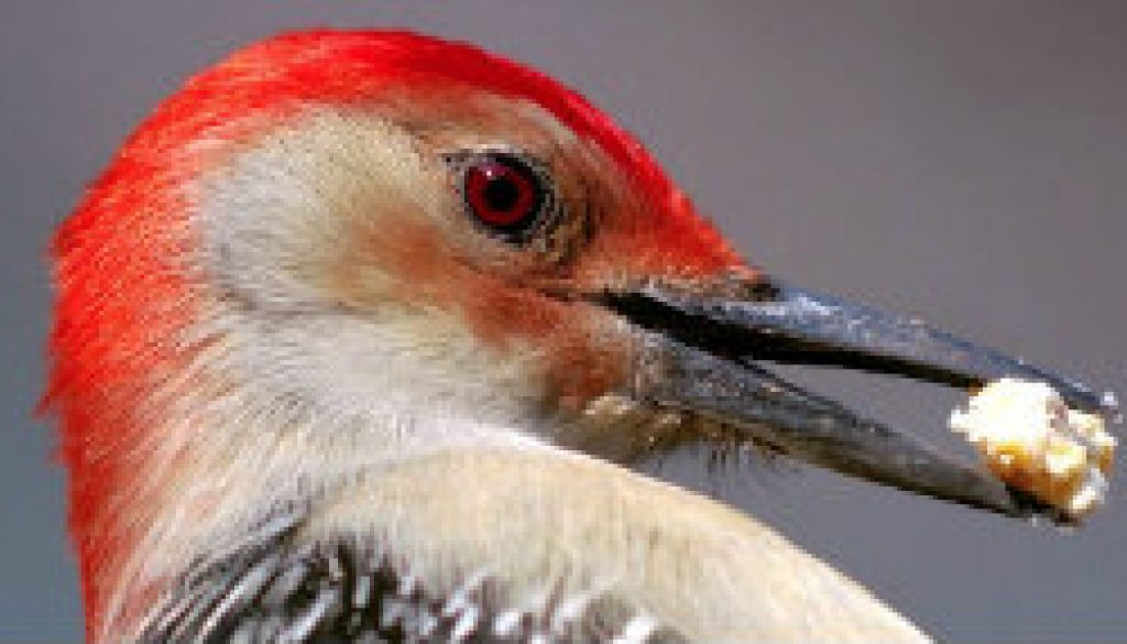 Red-bellied Woodpecker near Whispering Pines featured