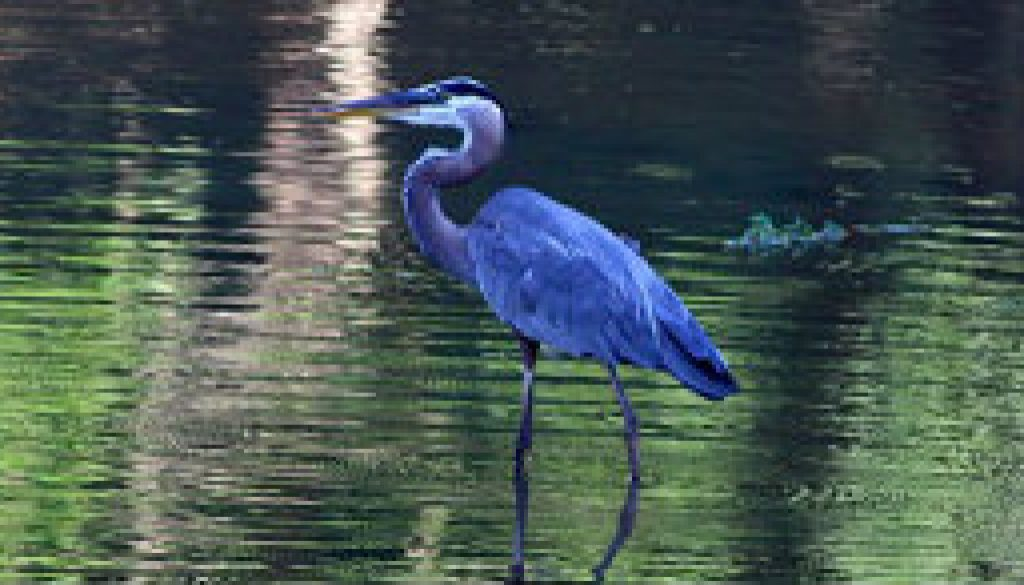 Great Blue Heron featured