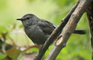River of Life Farm - Catbird