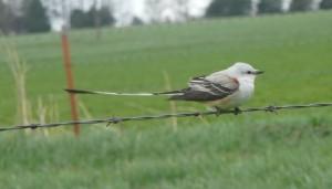 Scarce Scissor-tail flycatcher