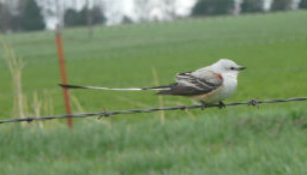 Scarce Scissor-tail flycatcher featured