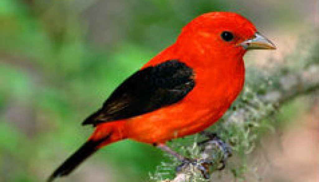 Scarlet Tanager featurede