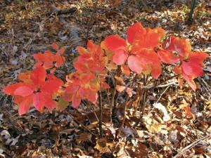 Smoke Tree saplings in Ozark County