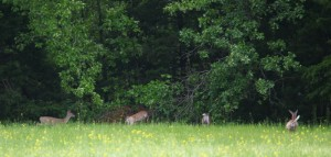 Some of the many deer at ROLF in May