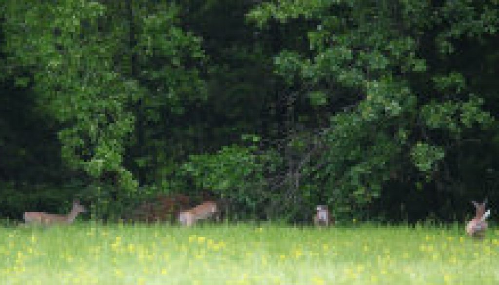 Some of the many deer at ROLF in May featured