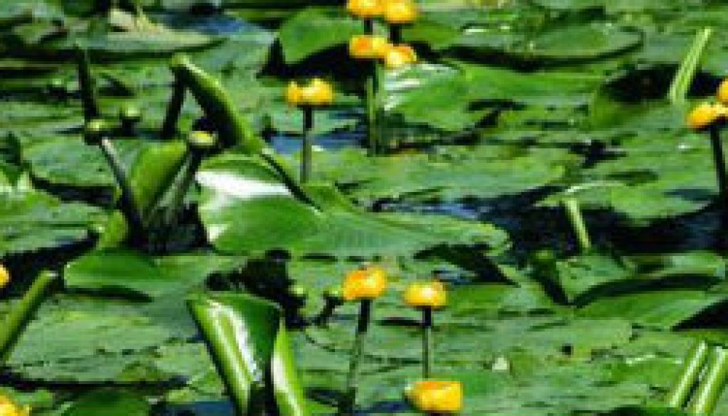 Spatterdock (Nuphar lutea) featured