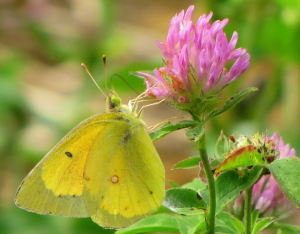 Sulphur butterfly on clover