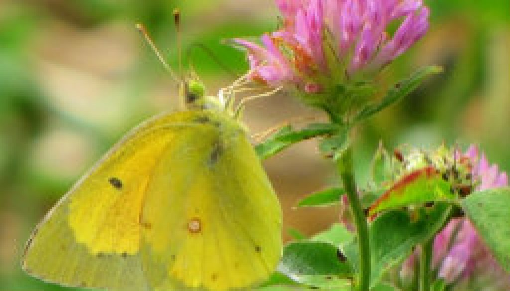 Sulphur butterfly on clover featured