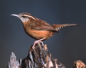 The Carolina Wren - there are many at ROLF