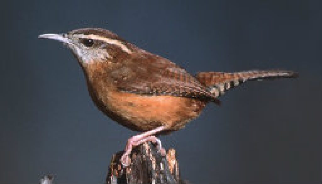The Carolina Wren - there are many at ROLF featuired