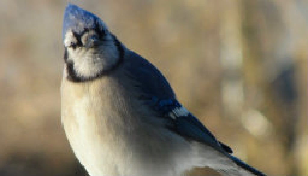 The sassy old Blue Jay featured