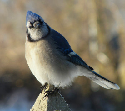 The sassy old Blue Jay
