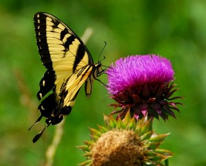 Tiger Swallowtail on Thistle Head