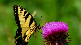 Tiger Swallowtail on Thistle Head feautured