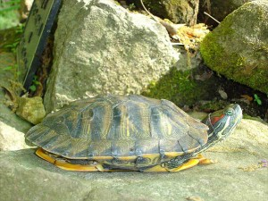 Turtles of the North Fork - Red Eared Slider