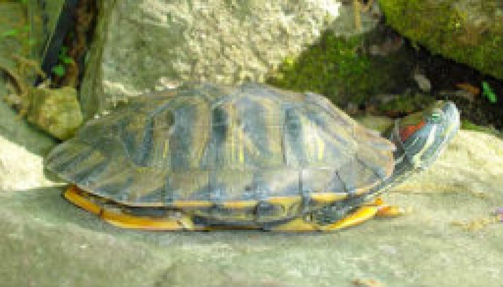 Turtles of the North Fork - Red Eared Slider featured