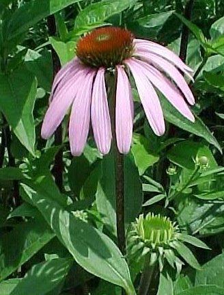 Watch for Pale Purple Coneflower in June